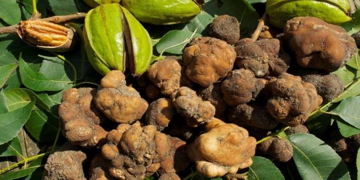 pecan-truffles