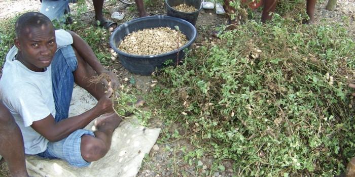 pnut-harvest-haiti